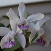 More Cattleya orchids... possibly more intermedia v. coerulea
