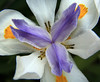 Dietes - Fortnight lily