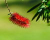 Nassau Bay Bottle Brush