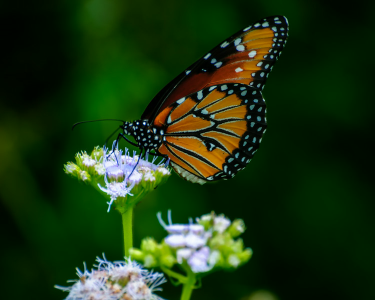 Brazos Bend Monarch