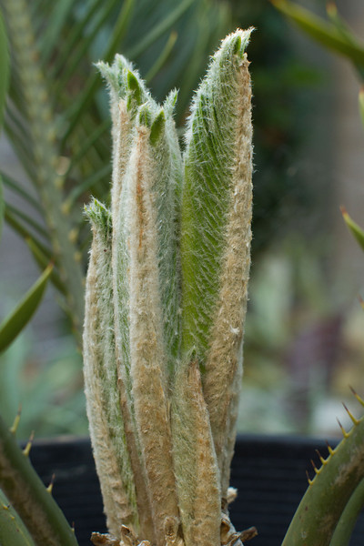 Garden Plants: Encephalartos Turnerii flush of new leaves witht he characteristic wooly cover.