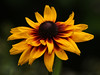 IMG4_38299 Black Eyed Susan flower DPPtrm