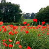Bright red poppies growing in a field in Great Britain