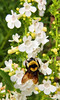 white penstemon (sp?) and bumble bee