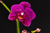 Blooming orchid -4019