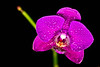 Blooming orchid -4052