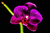 Blooming orchid -4033