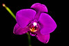 Blooming orchid -4044