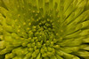 Green Chrysthanthemum