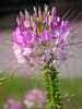Pink Spider Flower, Cleome spinosa