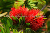 BOTTLE BRUSH, PUNCH BOWL, OAHU