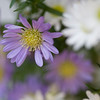 Aster novi-belgii,also called Michaelmas daisy, star wort or frost flower, are rhizomatous perennials, summer- to autumn-flowering