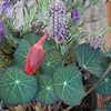 Tropaeolum majus, nasturtium or kappertjie, a summer-flowering annual native to the highlands of Central and South America, seen here along with lavender