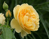 New York Botanical Garden.  Yellow Rose