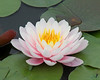 Water Lilly at New York Botanical Gardens