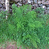 June 18, 2013. Bracken Fern at Glencoe in The Highlands, Scotland