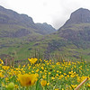 June 18, 2013. Buttercups at Three Sisters, The Highlands, Scotland