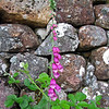 June 18, 2013. Foxglove at Glencoe in The Highlands, Scotland