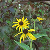 Rudbeckia at the Farm