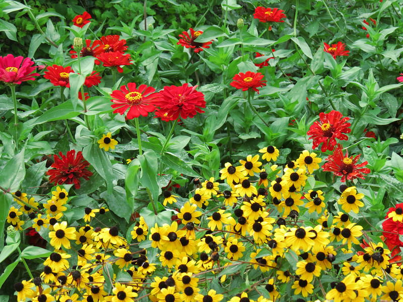 Red Zinnias ans Black-eyed susans