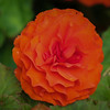 Begonia tuberosa Non-stop orange