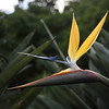 Strelitzia reginae, also called a crane flower or a bird-of-paradise flower, in the Kirstenbosch National Botanical Gardens, Cape Town, South Africa