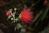 "Baja Fairy Duster, Calliandra californica, <a href=""http://www.usbg.gov//"">United States Botanic Garden</a>, Washington, DC."