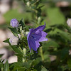 Balloon Flowers-07202013-084438.CR2