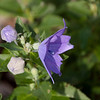 Balloon Flowers-07202013-084441.CR2