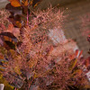 Purple Smoke Bush-07132014-122127(f).jpg