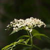 Wild Flowering Shrub-07132014-121333 (2)(f).jpg