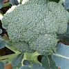 2014 Vegetable Garden-Broccoli-07212014-084714.jpg