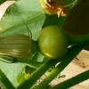 2014 Vegetable Garden-Winter Squash-07212014-084748.jpg