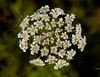 Daucus carota, or Queen Anne's Lace.  Spring wildflower in Plano, Texas.  Photo taken March 17, 2013.  Flower head is about 2 inches across.