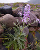 Sea Rocket {Cakile maritima  ssp. aegyptiaca} <br /> East coast of Santorini, Greece<br /> April 2006<br /> © WEOttinger, The Wildflower Hunter - All rights reserved<br /> For educational use only - this image, or derivative works, can not be used, published, distributed or sold without written permission of the owner.