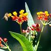 Milkweed Flowers With Honey Bee