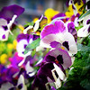 Abstract Pansies #1