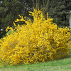 Double Forsythia