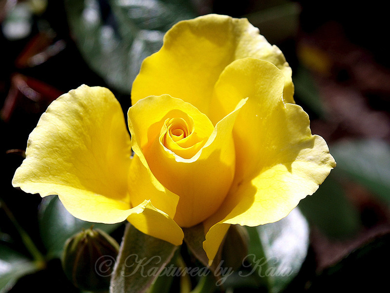 Beautiful Yellow Bud From My Daughter's New Rose Bush