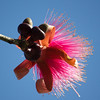 bloom on a shaving brush tree
