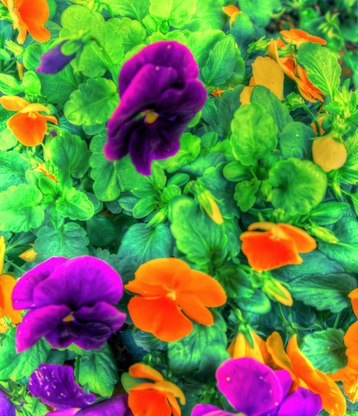 Mixed Pansies #1
