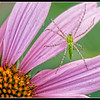 Insect on Cone Flower