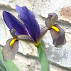 Gray and Blue Dutch Iris