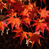 Cluster of Maple Leaves
