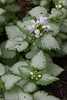 Lamium (Dead Nettles) 'White Nancy'  <br /> 6-6-13