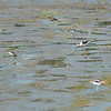 Avocets   (One Willet}