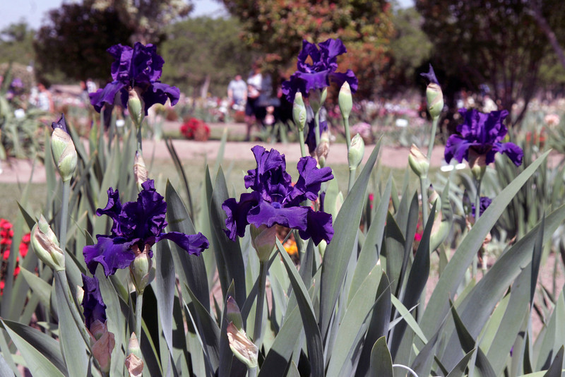 Iris blooming in Sutton's Iris Garden during the Porterville Iris Festival on Saturday, April 27, 2013.