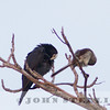White-crowned Pigeon and Northern Mockingbird