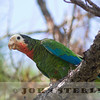 Rose-throated Parrot