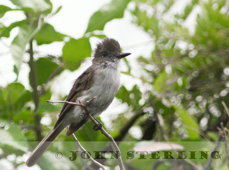 LaSagra's Flycatcher